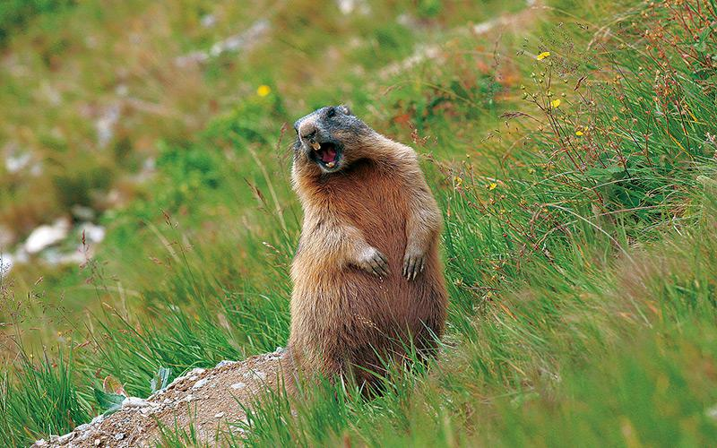 Experience close encounters with the marmots